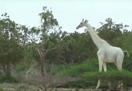 white giraffe2