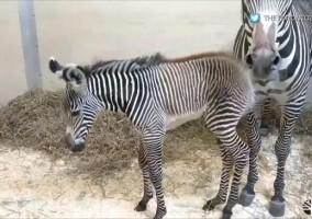 toronto zoo zebra obi